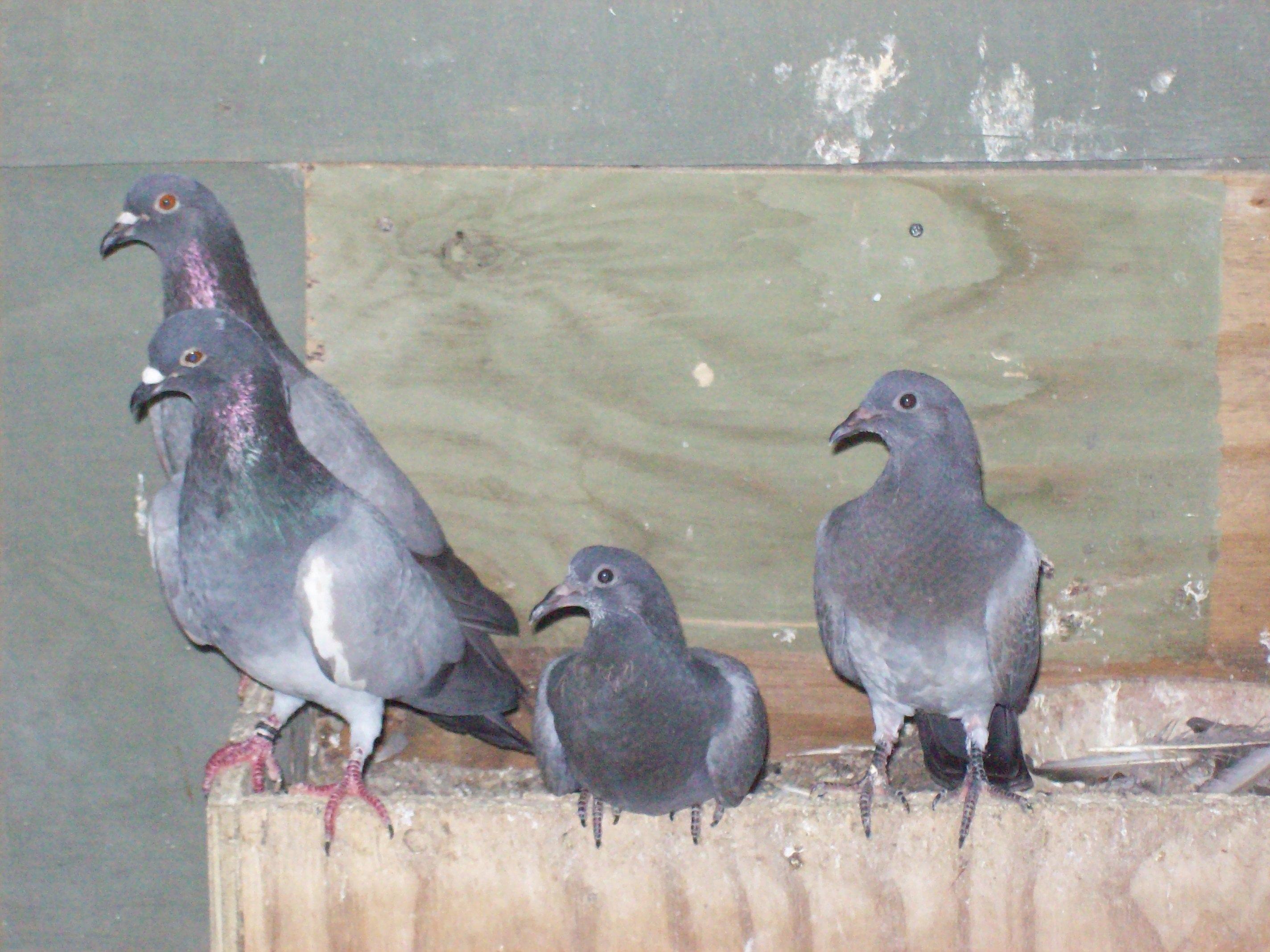 Risultati immagini per 4 piccioni